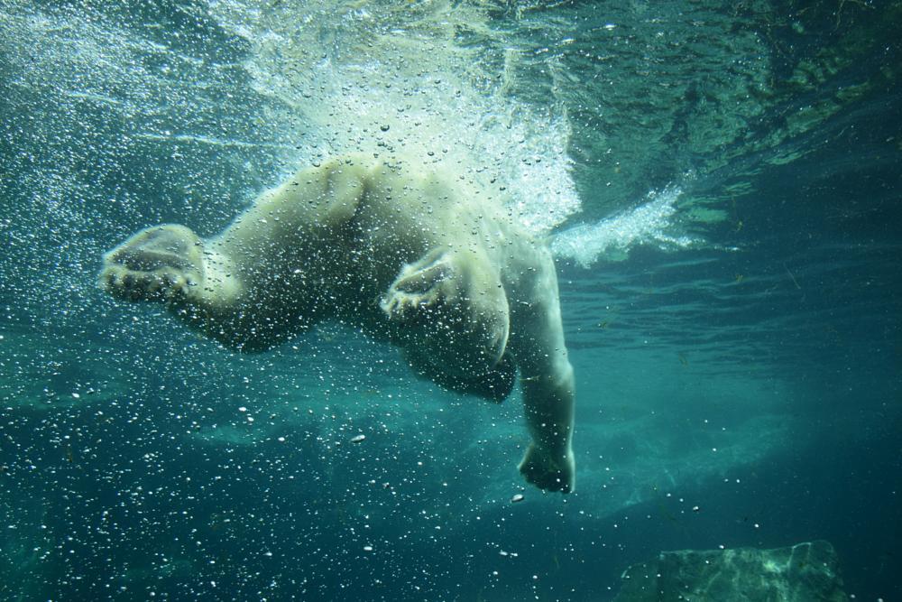 Photo in Animal #polar bear #water #swimming