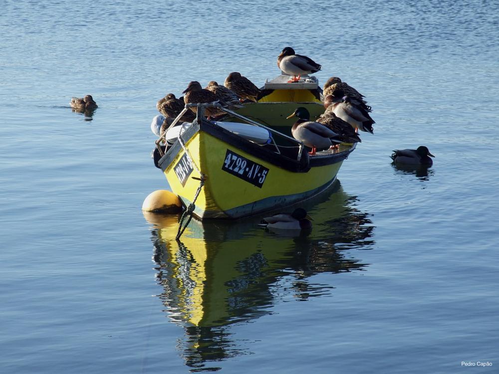 Photo in Animal #boat #ducks #animal #water #nature