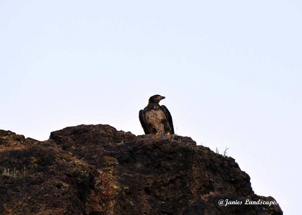 Photo in Animal #coons bluff #salt river #tonto national forest #bald eagles