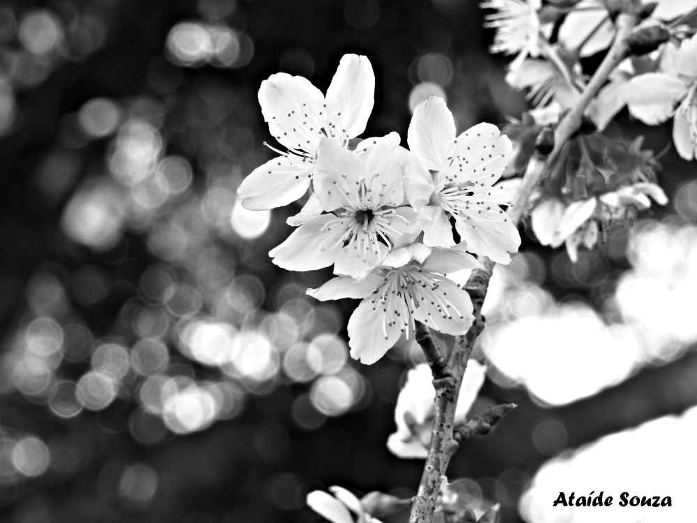 Photo in Nature #flower #sakura #ypa2013 #black & white