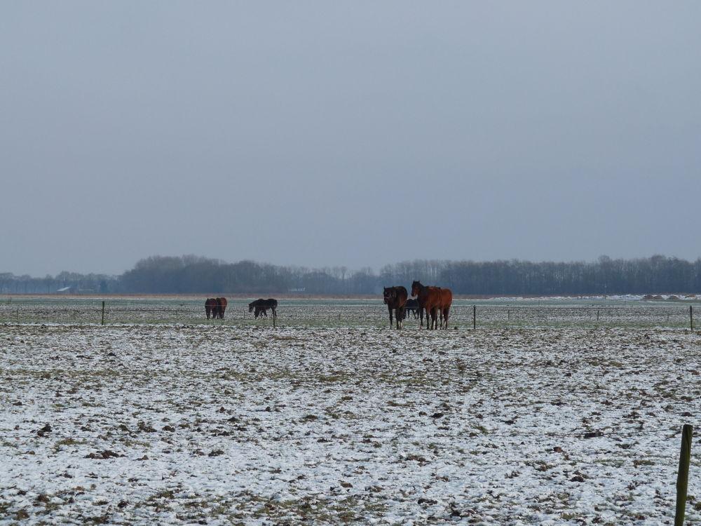 "Photo in Landscape #winter #snow #landscape #horses #""the netherlands"""