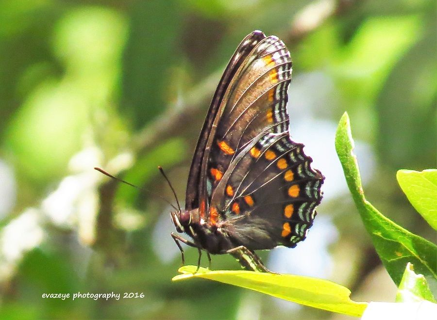 Photo in Nature #butterfly #texas #hill country #nature #trails