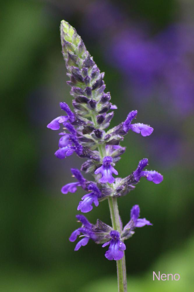 Photo in Macro #sage #purple #nature #beauty #macro #herb