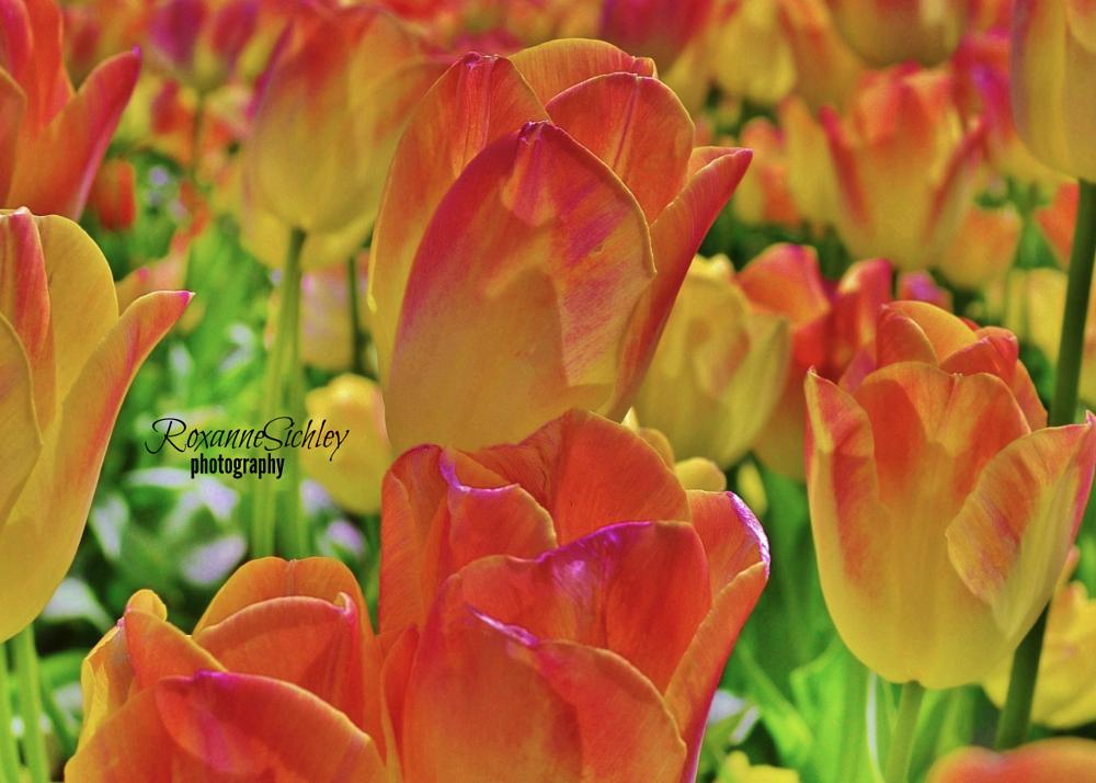 Photo in Random #beautiful #spring #tulips