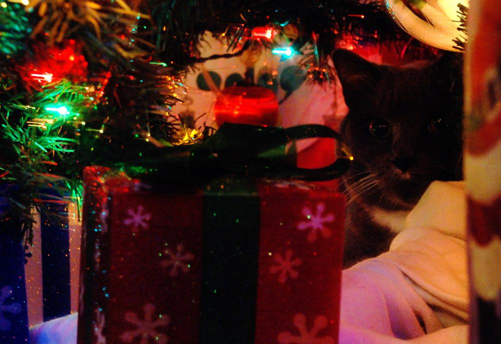 Photo in Animal #cat #christmas #christmas tree #giovanni