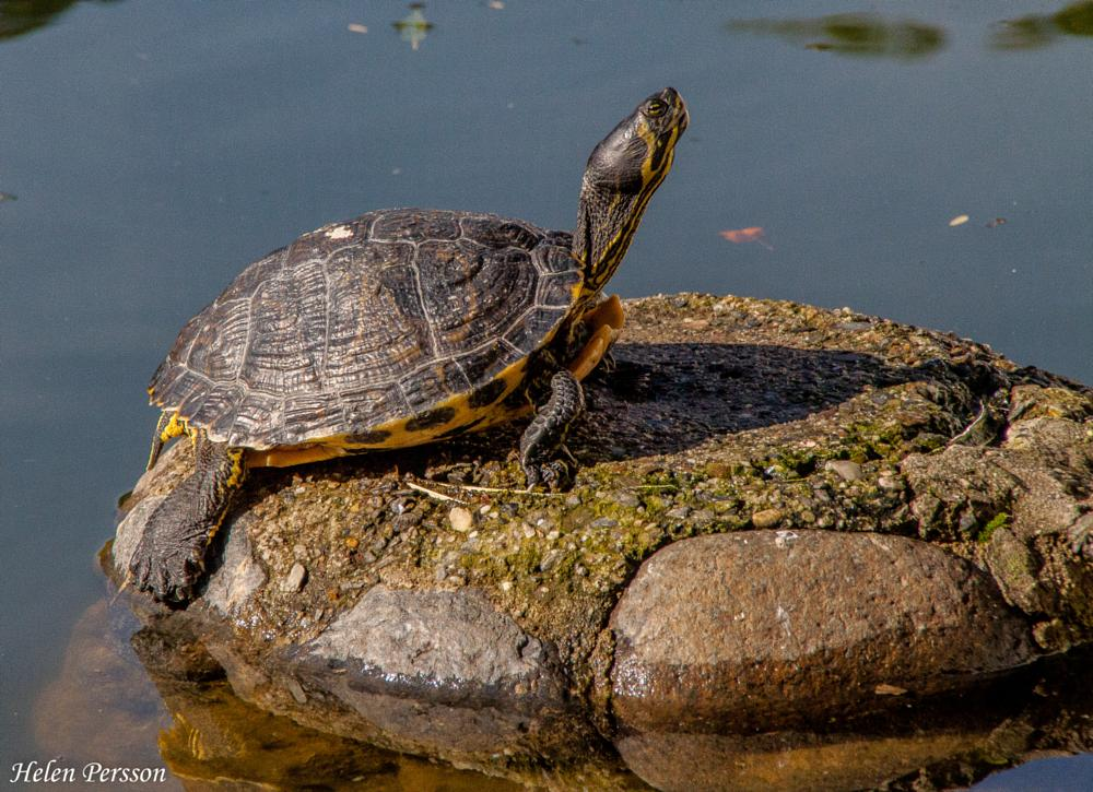 Photo in Nature #turtle #tortuga #nature #naturaleza