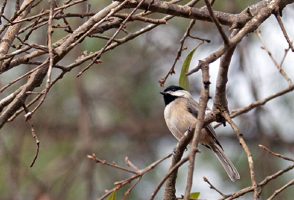 Photo in Nature #chickadee #black-capped chickadee #birds #songbird