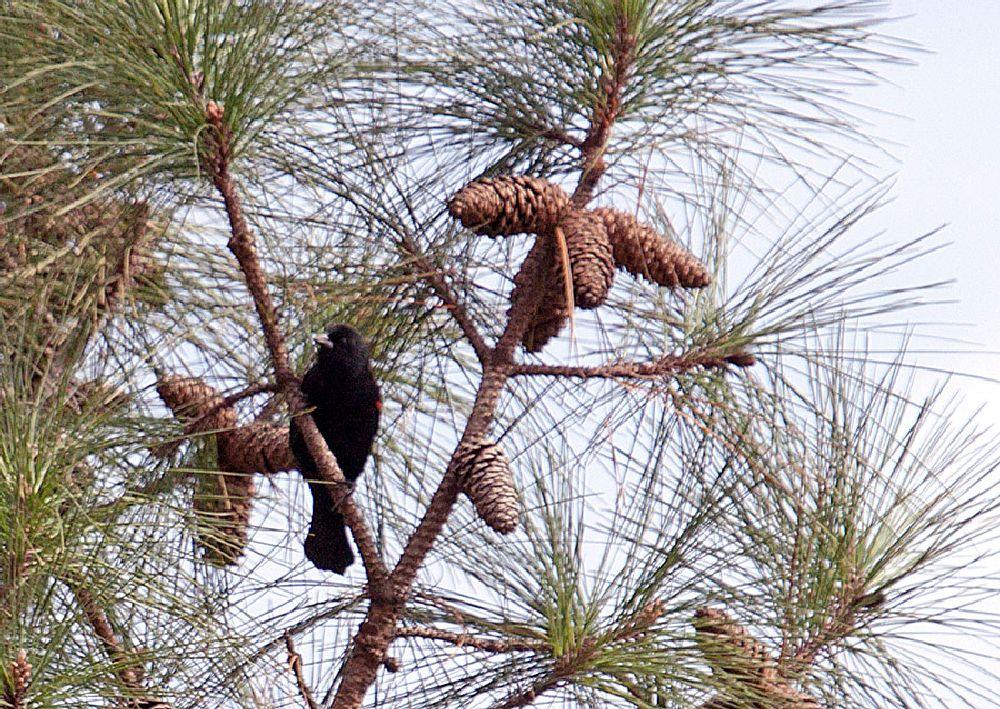 Photo in Nature #red-winged blackbird #blackbird #bird