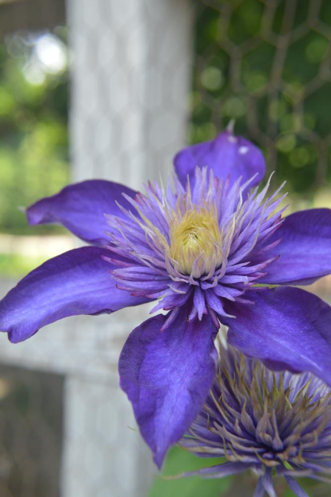 Photo in Nature #clematis #flowers #nature
