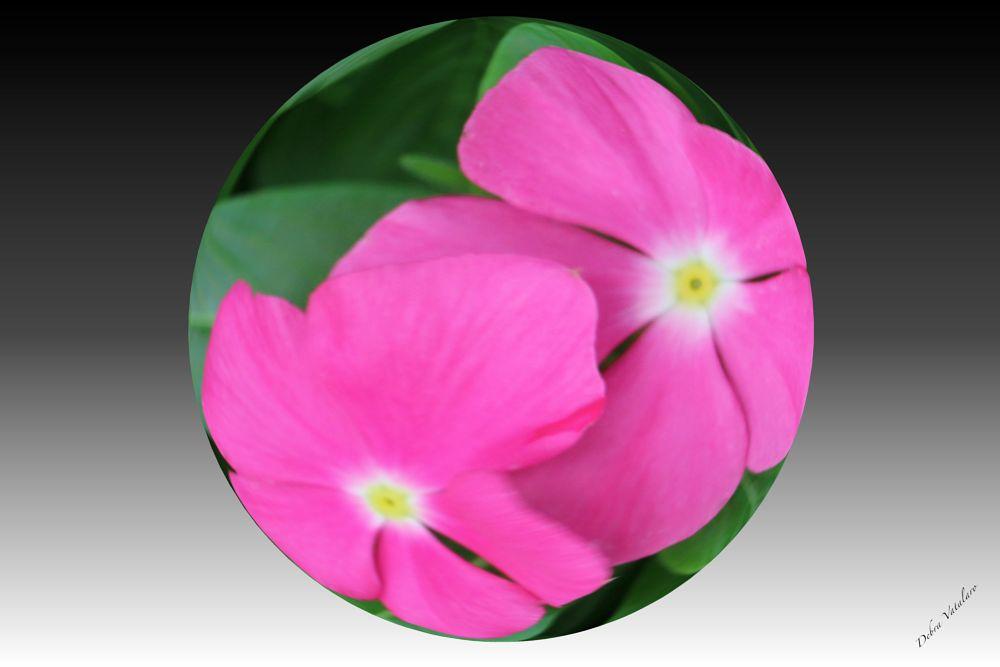 Photo in Nature #my pearls-pink flowers #pink flowers #nature #wildflowers #fowers #designer debra vatalaro #artist debra vatalaro #sphere flowers