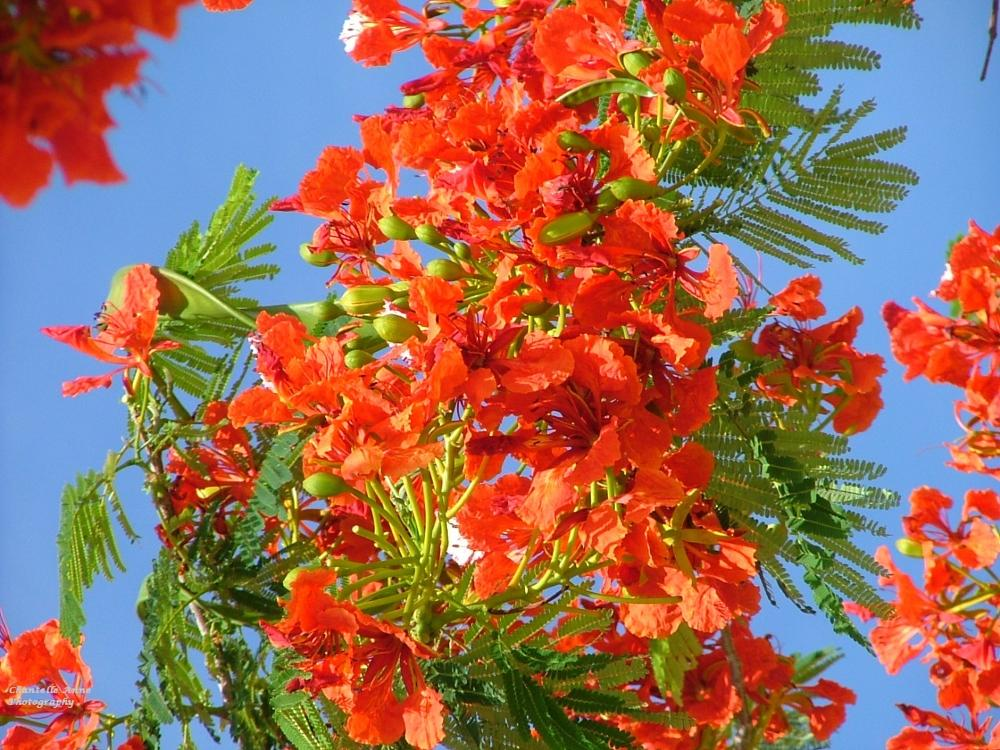 Photo in Nature #flowers #flowering tree #tropics #caribbean #st martin