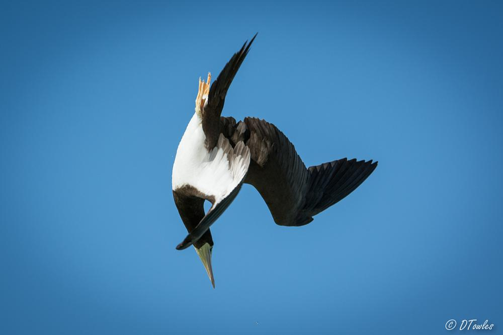Photo in Animal #bird #booby #brown booby