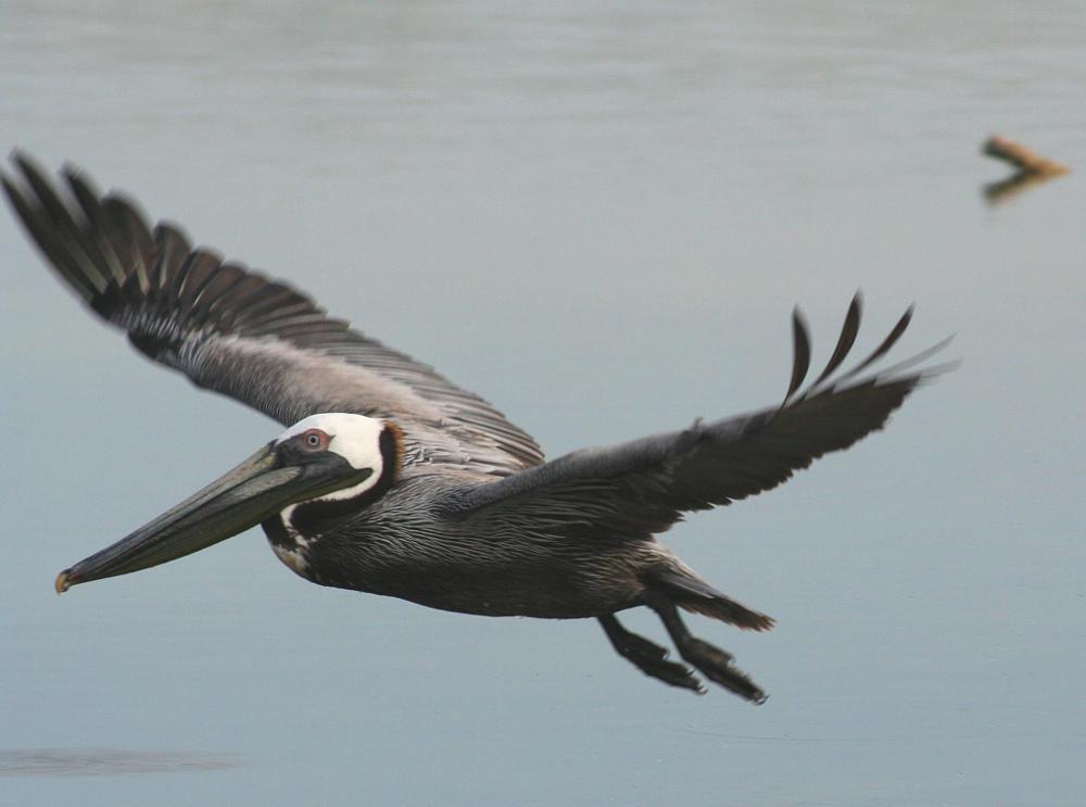Photo in Landscape #florida #pelican