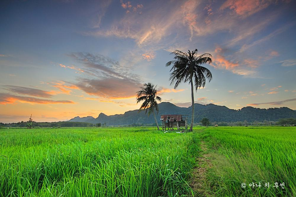 Photo in Landscape #rice #green #sunset #trees