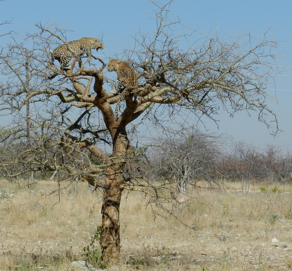 Photo in Animal #male #wildlife #leopards #africa #tree