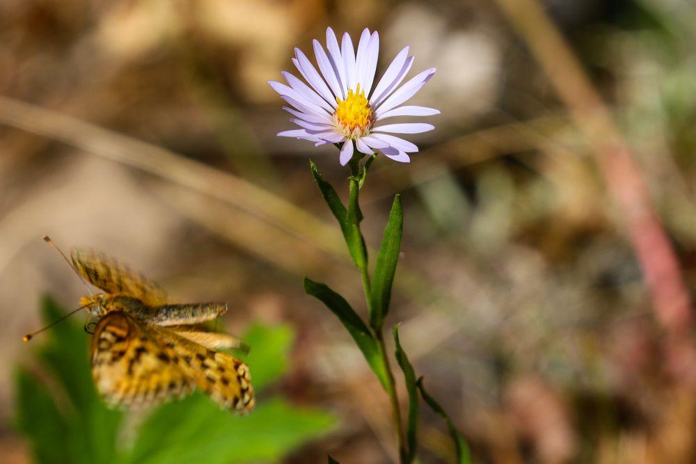 Photo in Nature #flower #daisy #butterfly #summer #flying #garden