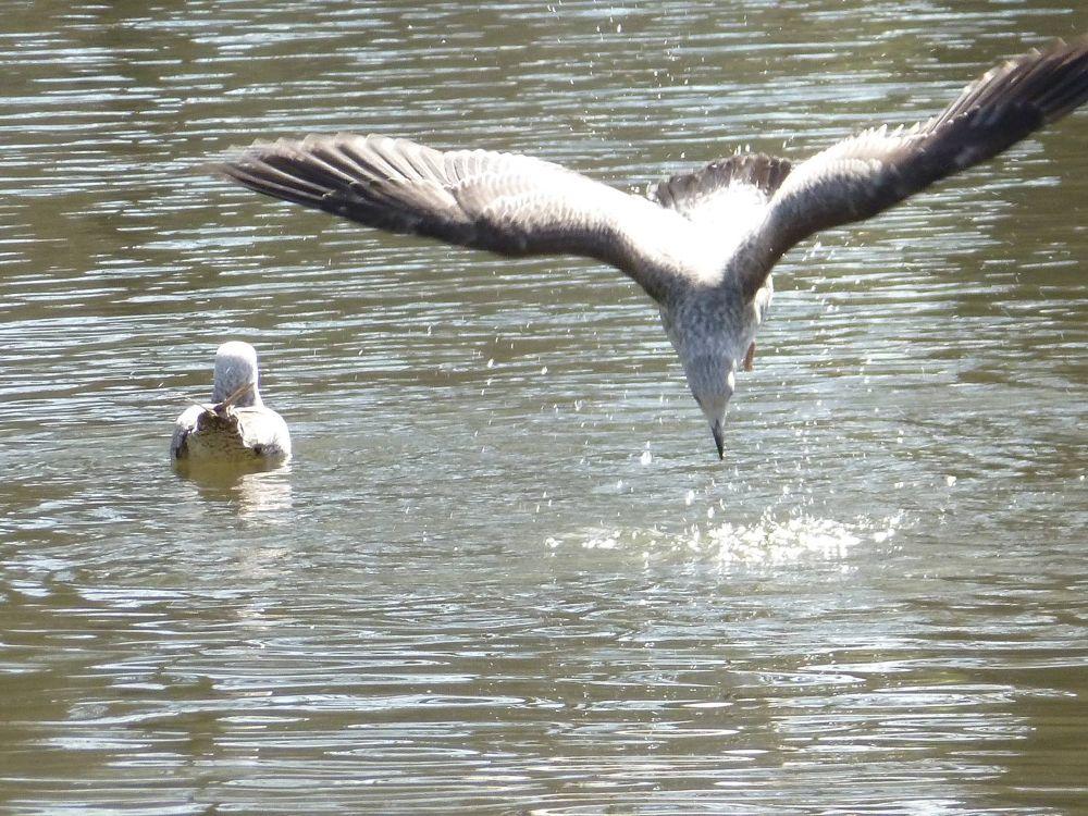 Photo in Random #nature #bird #sea #lack #seagull #flight #day #water #mouette #eau #lac #vol #oisseau #jour #dia #lago #vuelo #pajaro #gaviota #agua #purificacion #eat #manger #comer #animal