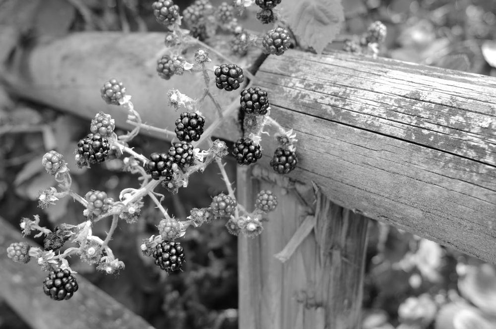 Photo in Black and White #germany #stuttgart #deutschland #berries #berren #blackberries