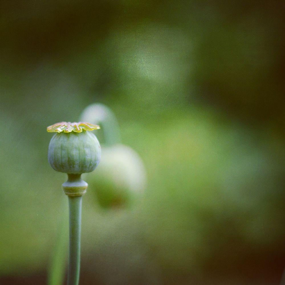Photo in Macro #poppy #poppies #poppyseed #garden #nature #nikon #50mm #bokeh #instagram