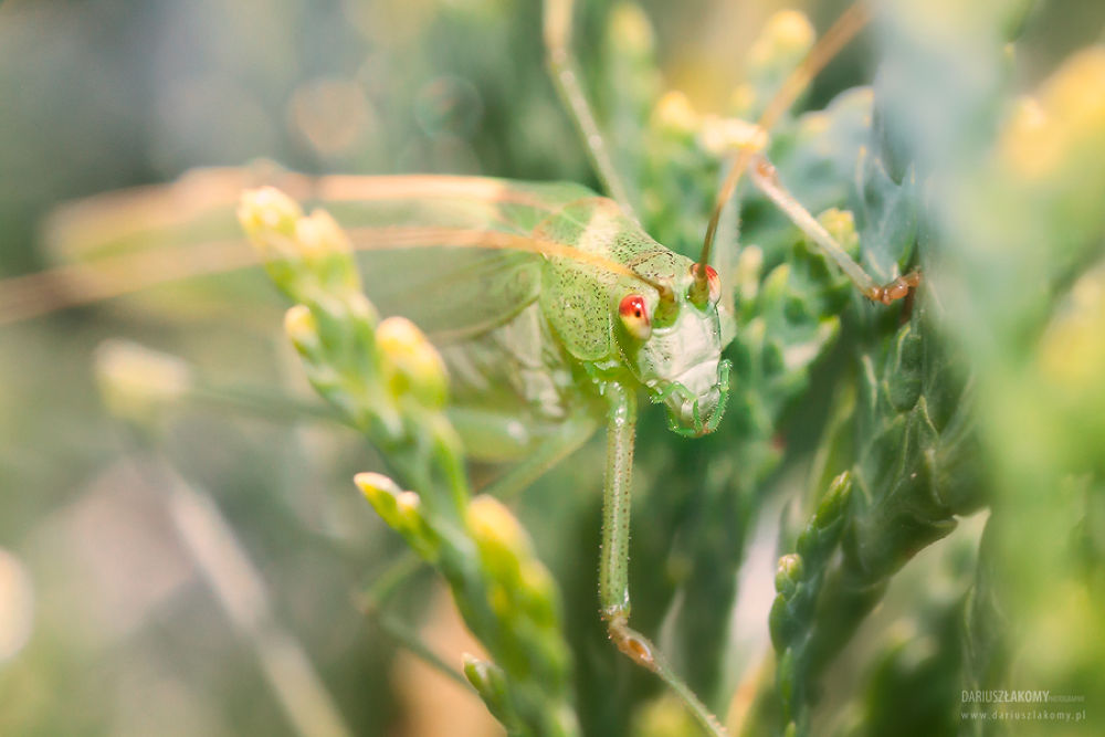 Photo in Macro #ypa2013 #dariusz łakomy #macro #cricket #grasshopper #grass #hopper #bug #eye #eyes #insect #nature #green