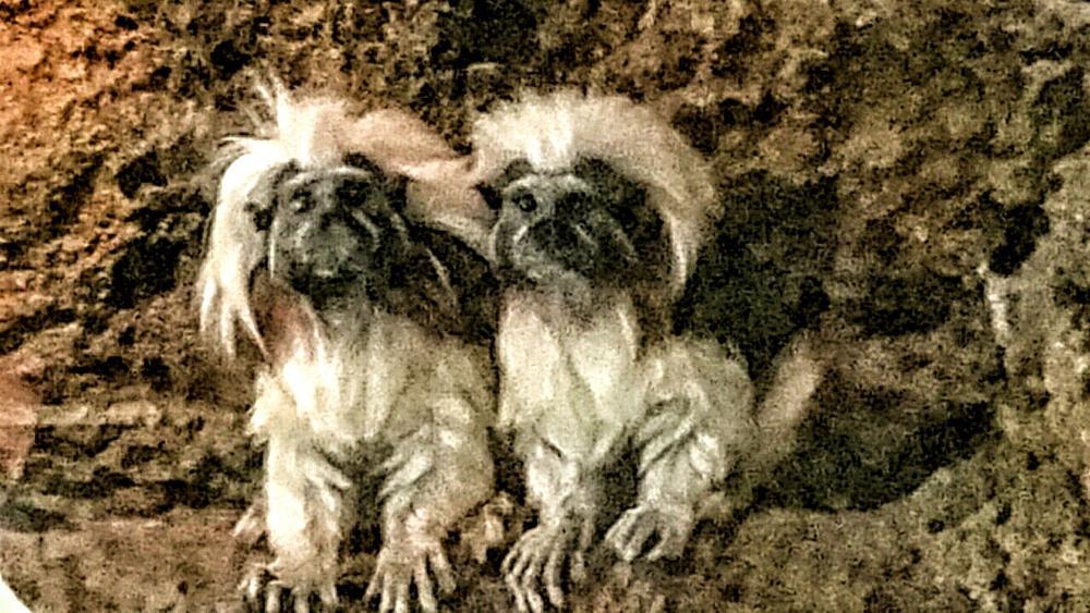 Photo in Random #cotton-top tamarin #san diego zoo #monkeys #primates #animals #random #travel #vacation #cute #gremlins