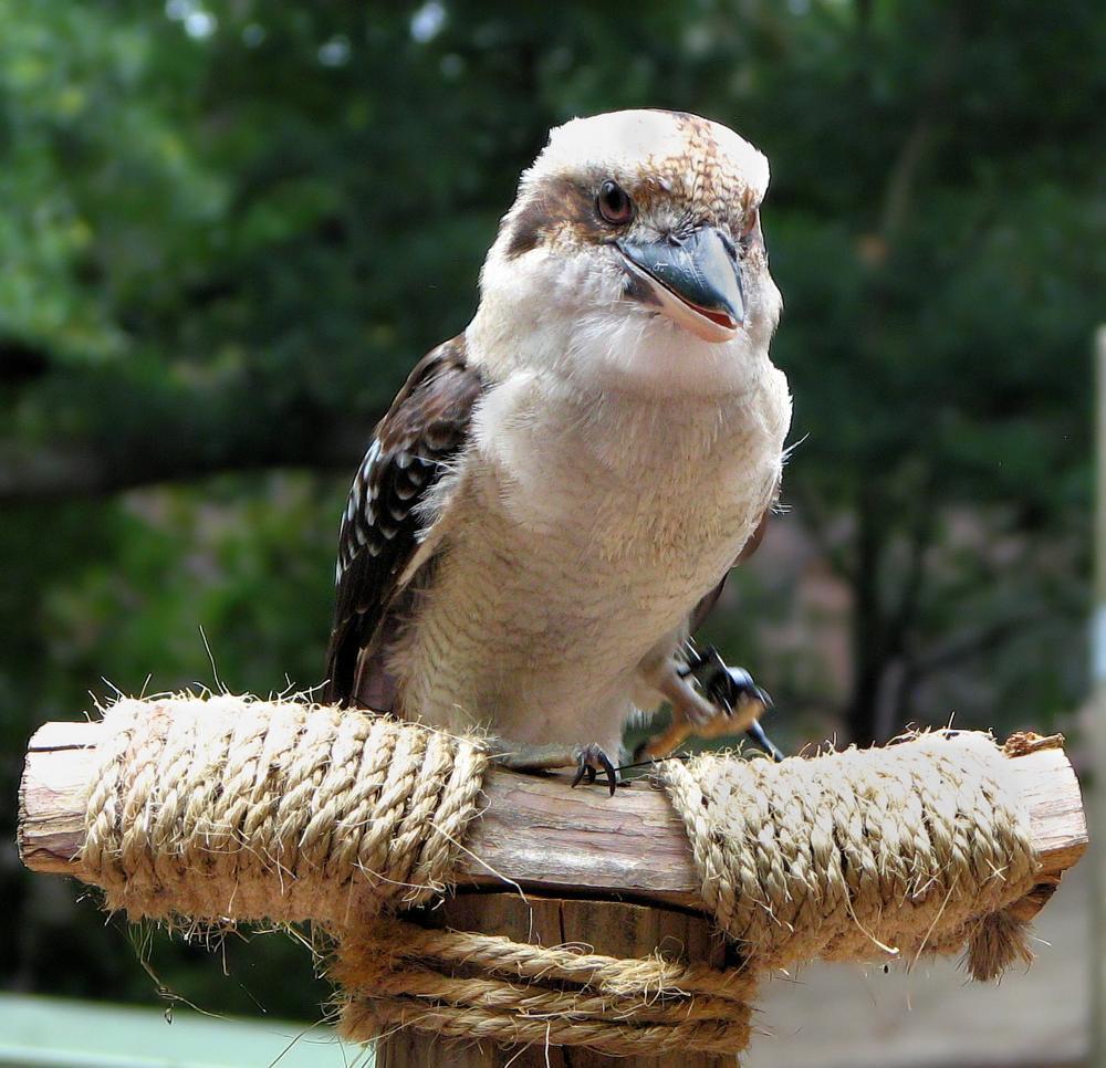 Photo in Animal #kookaburra #australia #bird