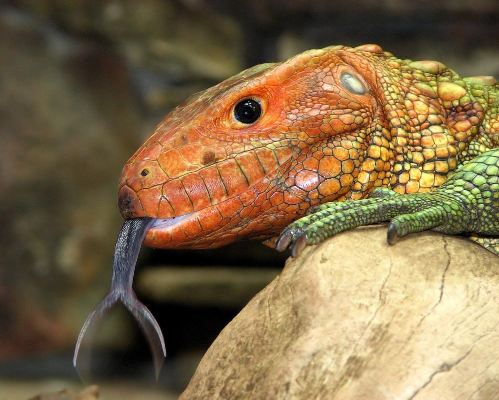 Photo in Animal #lizard #tongue #forked tongue #orange #green #reptile #caiman lizard