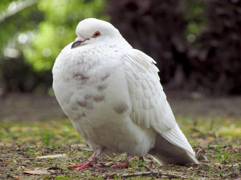 Photo in Animal #mr.white pigeon #white #pigeon #birds #bird #fly