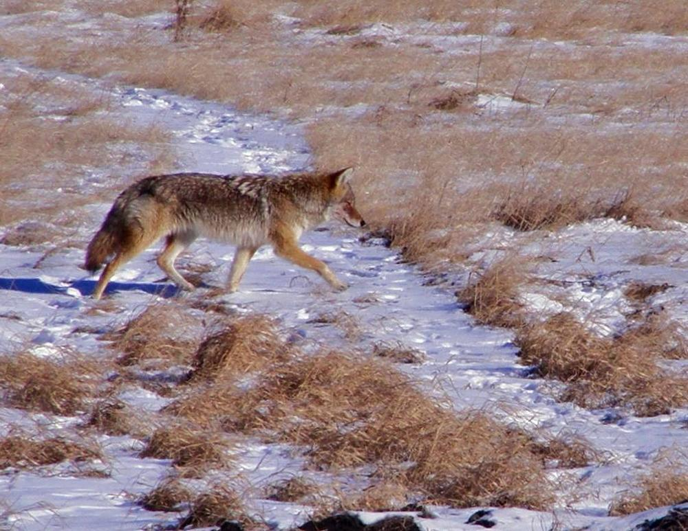 Photo in Animal #coyote