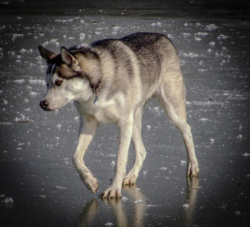 Photo in Animal #siberian husky #husky #dog #ice #frozen lake