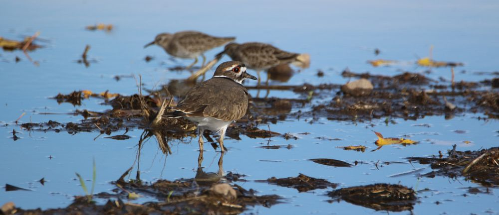 Photo in Nature #killdeer #least sandpipers #pond #leaves #rocks #dirt #grass #wading #nature #canon