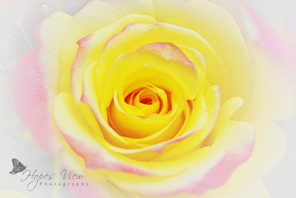 Photo in Fine Art #rose #yellow #art #pink