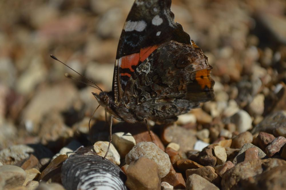Photo in Nature #butterfly #clam shells #gravel bar #jack's fork river #ozarks