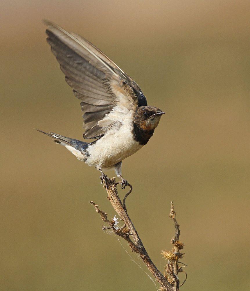 Photo in Animal #barn swallow