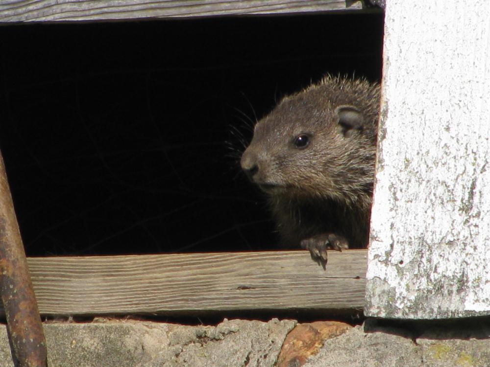 Photo in Animal #woodchuck #groundhog