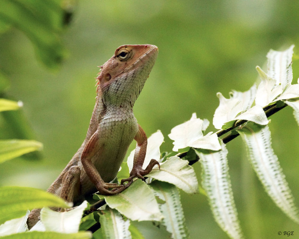 Photo in Nature #agamid #lizard #reptile #nature
