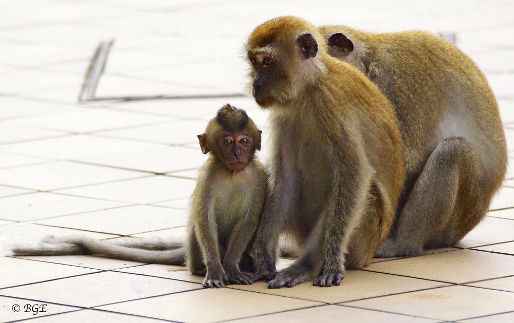 Photo in Animal #macaque #monkeys #wild monkeys #animal #nature #sony