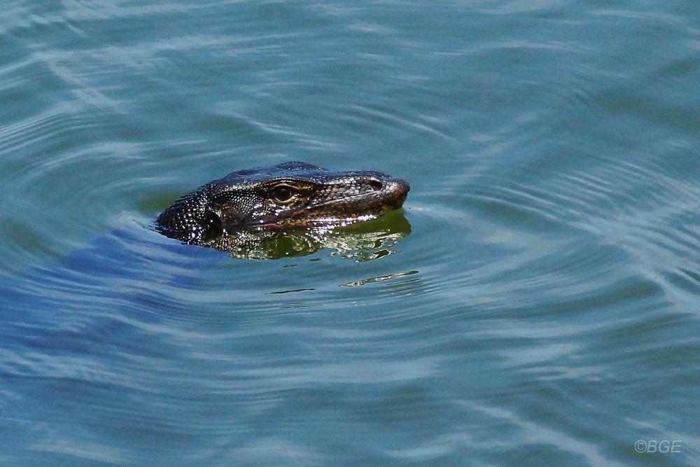 Photo in Random #monitor #lizard #nature #reptile #swim #water #sony