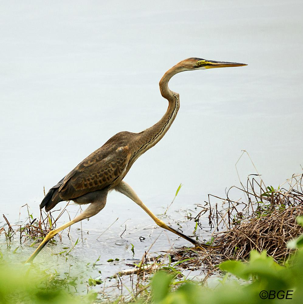 Photo in Nature #juvenile #heron #birds #waterfowl #purple