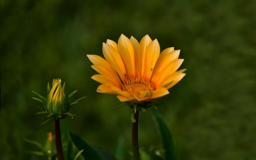 Photo in Nature #flower #sun flower #nature