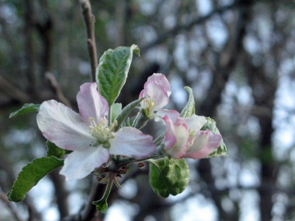 Photo in Nature #apple blossom spring blooms