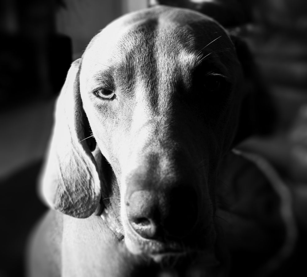 Photo in Animal #dogs #staring #weimerener