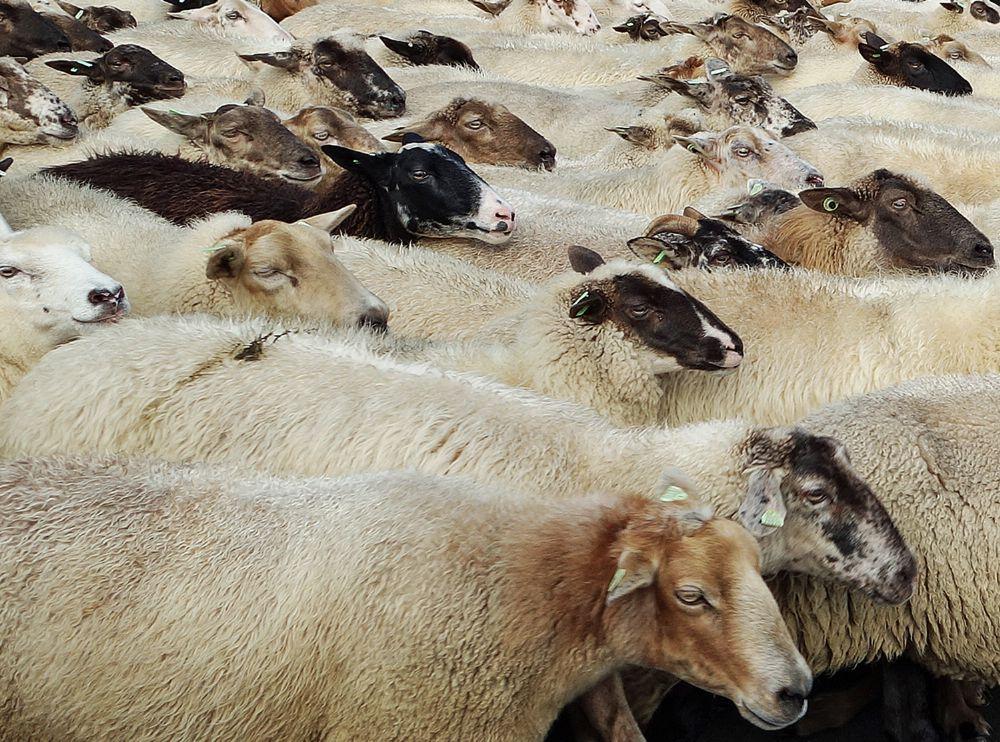 Photo in Nature #sheep #animals #nature #winterswijk