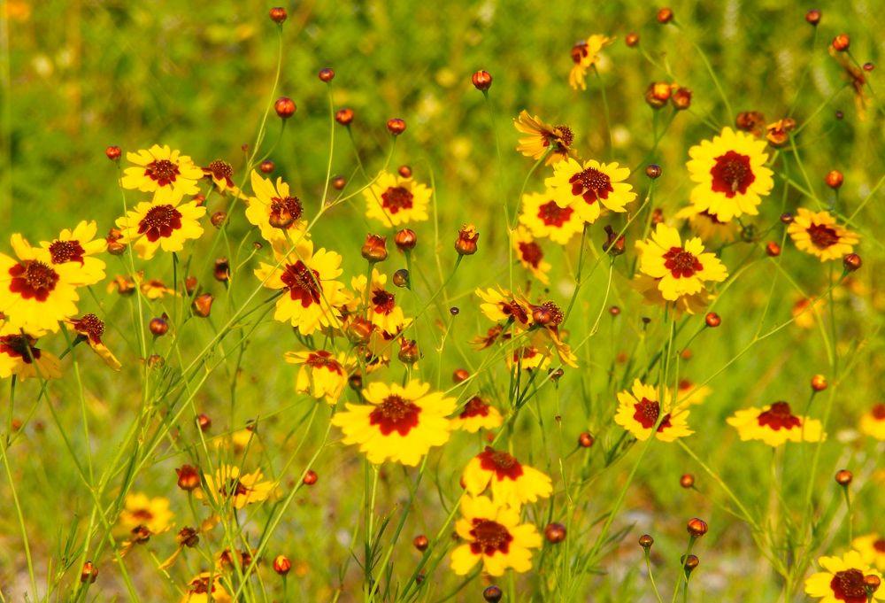 Photo in Landscape #wild flowers #yellow #grass #fields