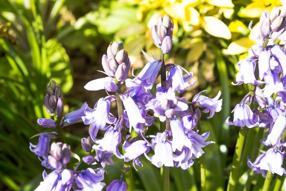 Photo in Nature #flower #stalks #bells #leaves #blue #green