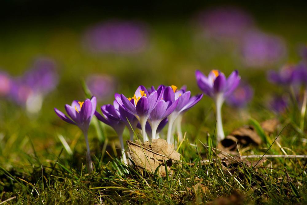 Photo in Random #crocus #spring #flower