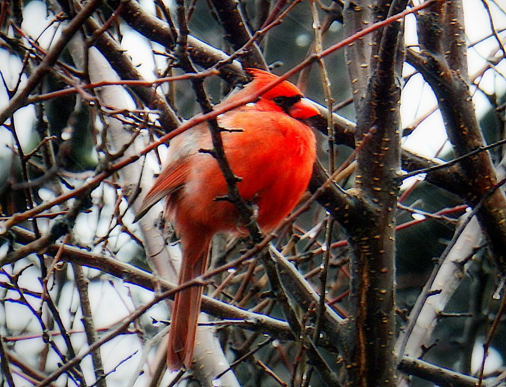 Photo in Nature #bird #cardinal #nature #male bird #branches #red cardinal
