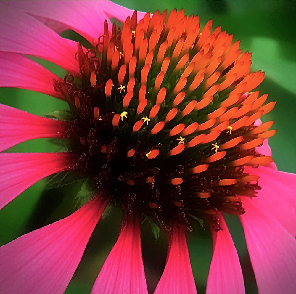 Photo in Macro #coneflower #flower #flowers #nature #macro