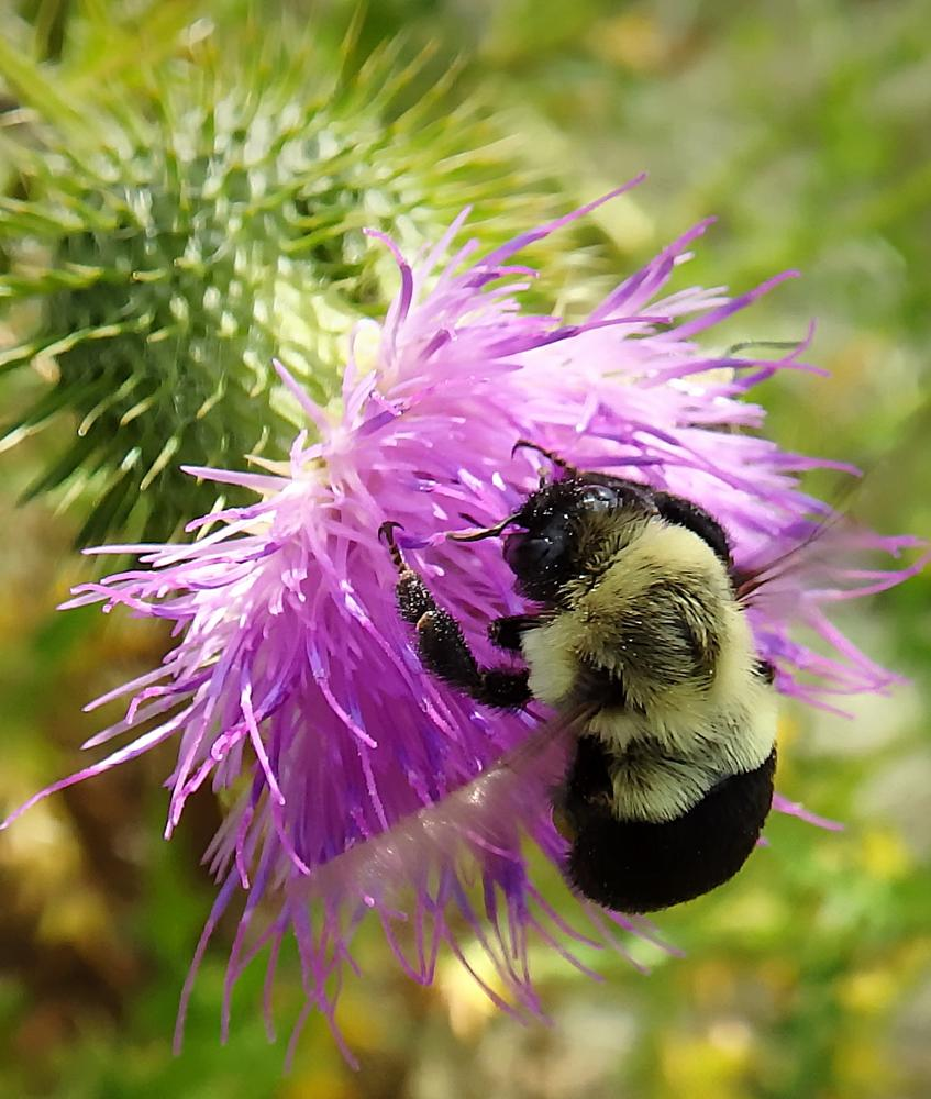 Photo in Macro #bumble bee #flower #wildflower #nature #macro #thistle