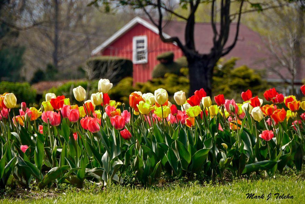 Photo in Random #tulips #tulip #metropark #loraincounty #ohio #springcontest
